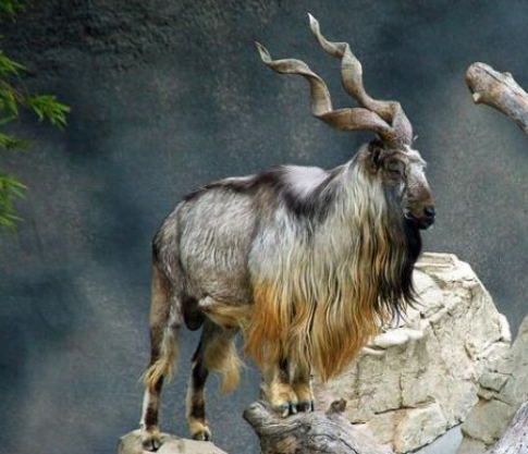 भूटान का राष्ट्रीय पशु टोकिन है